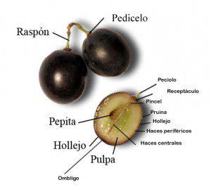 Partes-de-la-uva